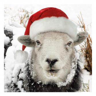 winter sheep cancer research uk christmas card